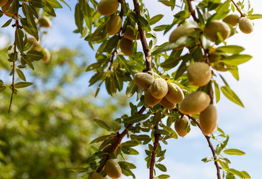 Murray Darling Basin almonds used in alt dairy co almond barista milk
